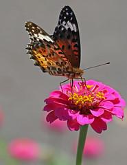 Painted Lady butterfly near Tsukimiya (Geoff Buck) Tags: japan butterfly paintedlady insect nakasendo