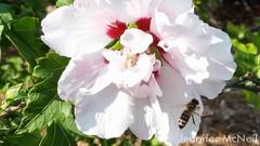 August 28, 2015 - Busy bee in Thornton. (Jennifer McNeil)