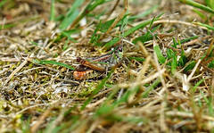 camouflaged (Philip Schofield) Tags: macro grass suffolk cricket camouflaged