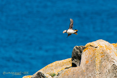GOING FISHING ! (Wade.J.) Tags: ocean cliff lighthouse bird rock newfoundland fishing nikon labrador flight atlantic puffin cape bonavista d800 tamron150600