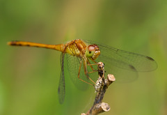 Anisoptera (Kfrosted) Tags: backyard dragonfly odonata