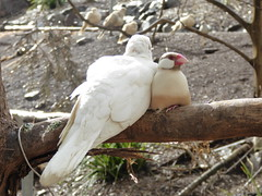Rock Dove and Finch (ignit3s) Tags: pet bird dove finch aviary sunshinecoast petbird botanicgardens maleny rockdove whitedove