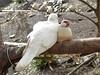 Rock Dove and Finch (ignit3s) Tags: pet bird dove finch aviary sunshinecoast petbird botanicgardens maleny rockdove whitedove