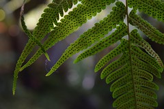 Botanica, Whangarei (3) (herbal tree) Tags: new travel winter fern june island north zealand backpacker 2015