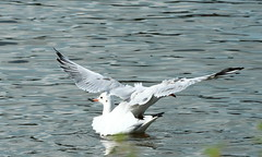 Oops Sorry (jdathebowler Thanks for 4.5 Million + views.) Tags: nature gulls seabirds yeadontarn blackheadedgulls naturescall oopssorry
