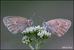 Coenonympha pamphilus (alfvet) Tags: macro estate ngc butterflies natura npc coppia insetti valsesia farfalle veterinarifotografi