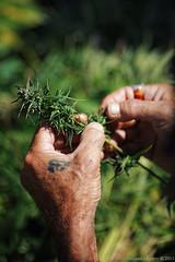 Removing leaves (f/4) Tags: india manali cannabis himachal tosh kullu hashish pradesh charas parvati