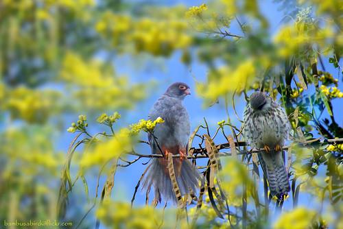 เหยี่ยวตีนแดง / Amur Falcon / Falco amurensis