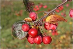 Zum Reinbeien... (julia_HalleFotoFan) Tags: herbst beeren sammeln malus rosaceae erntezeit malusbaccata kernobstgewchse kirschapfel beerenzeit beerenapfel