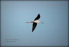Black winged stilt (Himantopus himantopus) (Kaushik.N.Rao) Tags: india lake birds spread flying wings hyderabad blackwingedstilt avianphotography 2k15