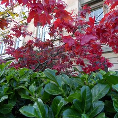 Red leaves and Green leaves (Wider World) Tags: autumn red green leaves square scotland glasgow acer westend laurus