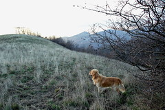 the most obedient (RD_Elsie) Tags: goldenretriever tuscany toscana bastione