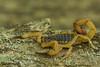 Tityus serrulatus (Buthidae) (José Roberto Peruca) Tags: scorpion arachnida buthidae atlanticforest mataatlântica escorpião serrulatus tityus scorpiones tityusserrulatus taxonomy:binomial=tityusserrulatus