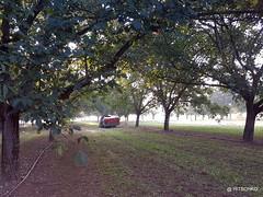 Noix de Grenoble: Maschinelle Ernte (HITSCHKO) Tags: noixdegrenoble echtewalnuss juglansregia laubbaum walnussgewächse juglandaceae walnuss walnussbaum baumnuss nutzpflanze nutzholz isère drôme savoie france frankreich