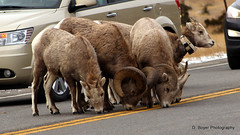 Big horn sheep (dinaboyer) Tags: forest big montana sheep anaconda horn canadensis ovis pintler