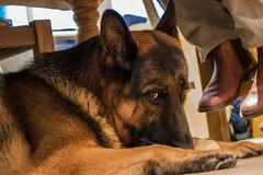 doglook (FurtiveOutsider) Tags: dog pet dogs friend shepherd best german chef alsatian alsation helper sous gsd videx