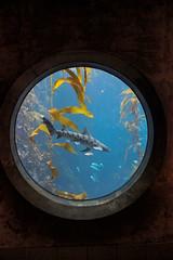 leopard shark in the kelp forest (j j miller) Tags: california window water aquarium coast monterey education tank montereybayaquarium montereybay science kelp learning hwy1 sustainability californiacoast kelpforest giantkelptank