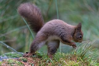 Red Squirrel 20   12-11-15 Ian W