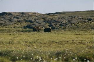 Muskox near Mallery Lake, Nunavut, Canada '95