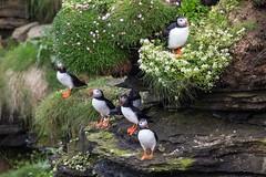 puffins checking flight conditions (jimx9999) Tags: bird scotland puffin vogel schottland papageientaucher canon5dmarkiii