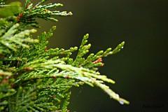 """A GREEN BUSH"" (Pedro Ramos Costa) Tags: costa flores flower verde green portugal canon eos bush close natural flor pedro alentejo mundo perto ramos arbusto 700d"