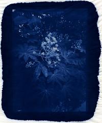 Inflorescence (Philippe Torterotot) Tags: contact cyanotype alternativeprocess 13x18 procedesalternatifs