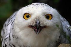 Are you edible..? - explore 02. Jan. 2016 (Nephentes Phinena ☮) Tags: buboscandiacus eule falconry falknerei nikond300s owl schneeeule snowyowl wildparklüneburgerheide bird birds animals