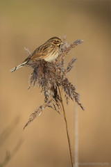 Female reed bunting (Beardy Git) Tags: uk bird reed telephoto bunting cambs whittlesey canoneos7dmarkii kingsdykenaturereserve ef100400mmf4556lisiiusm14xiii