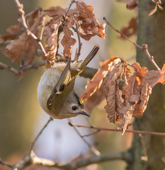 Goldcrest (Regulus regulus) (microwyred) Tags: birds wildlife places goldcrest