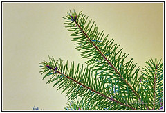 View FULL SIZE for Beauty - The Elegant Simplicity and Beauty of Pine Leaves. (Bill E2011) Tags: old trees tree green nature beauty canon design simplicity species oldest minus conifer
