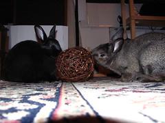New Ball! (Anomieus) Tags: pet cute rabbit bunny bunnies animal furry konijn conejo tail ears rabbits paws coney coelho lapin kaninchen houserabbit coniglio cottontail  cony kanin  krlik leporidae nyl  iepure  leporid    kuni