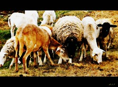 Baa-aaa! (Marcia Portess-Thanks for a million+ views.) Tags: baaaaa marciaaportess marciaportess map sheep wool animals farmanimals pastureanimals oveja nature herd woolysheep animales