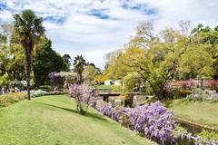 Spring colours (Val in Sydney) Tags: wisteria festival parramatta nsw australia australie