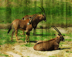 There are horns and then there are HORNS! (bethrosengard) Tags: bethrosengard photomanipulation digitallyenhanced photoart digitalmagic digitalart