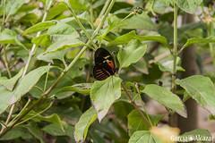 Mariposa 9 (Manolo G.A.) Tags: canon 50d 18200mm mariposario njar almera mariposa butterfly