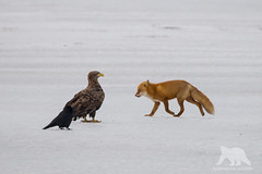 Raven, Eagle and Fox (fascinationwildlife) Tags: animal mammal bird raptor predator prey red fox raven white tailed eagle ice snow frozen lake winter wild wildlife nature natur hokkaido japan fuchs rotfuchs seeadler adler rabe