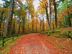 Les feuilles mortes (Fernando De March) Tags: les feuilles mortes foglie morte autunno foresta veneto cansiglio belluno tambre farra alpago faggi