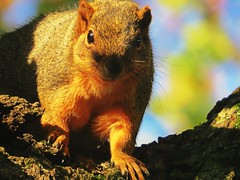 IMG_2921 (kennethkonica) Tags: nature canonpowershot summer global random hoosiers marioncounty midwest america usa indiana indianapolis indy colors animaleyes animal outdoor c animalplanet october fall squirrel rodent whiskers tree stare