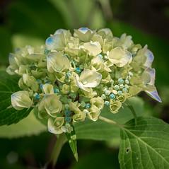 Chosho Hydrangea (campra) Tags: japan hirosaki  aomori  choshoji  temple buddhist tsugaru hydrangea plant flower bud