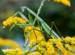 Praying mantis (suzynewman) Tags: goldenrod praying mantis
