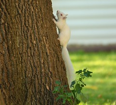 Saturday Morning Albino Squirrel (Explore) (rabidscottsman) Tags: scotthendersonphotography morning tree animal albino squirrel albinosquirrel wild wildlife treerat pretty cute weekend saturday nikon nikond7100 d7100 sigma sigma150500 150500 redeye mn minnesota lakevilleminnesota dslr white whitesquirrel socialmedia twitter pinterest facebook beautiful explore nature fav25 fav50 fav75 fav100 fav125 fav150 fav175 fav200 fav225 fav250 fav275