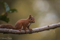 Red Squirrel (Lorraine Culloch) Tags: red squirrel forest wild scotland