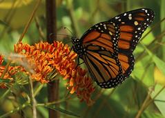 Monarch on ...... (l_dewitt) Tags: monarchbutterfly monarch butterflyphotos butterflyimages butterflys butterflyweed wildlifephotos wildlifeimages