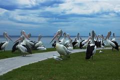 Pelicans Picnic Point The Entrance 4 (Rob Virgona) Tags: entrancepelicansfeeding pelicans australia bird centralcoast clouds entrance flight pelican pelicansfeeding robvirgona sea theentrance water