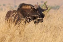 Black Gnu (paulinuk99999 - just no time :() Tags: paulinuk99999 wildlife game reserve park sal70400g south africa pretoria sepetmber 2016 black uni wildebeest rietvlie