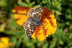 Marigold Skipper (Jim Atkins Sr) Tags: skipper commoncheckeredskipper pyrguscommunis butterfly marigold tryonpalace newbernnc newbern northcarolina kitchengarden sony sonya58 a58
