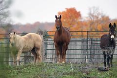 I had company (Wil James) Tags: elements sonya77mk2 tamron ontario fall trees sky horses threes
