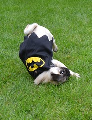Boo The Batman Pug (DaPuglet) Tags: pug pugs dog dogs puppy puppies pet pets animal animals halloween costume batman bat batpug funny cute
