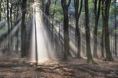 Sundaymorning (Bram de Jong) Tags: tree trees forest landscape sunrise sun sunbeam ray beech fagussylvatica nikon speuldersprielderbos outdoor serene plant