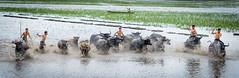 Herded buffalo season! in Vietnamese: Ma Len Tru (trai_thang1211) Tags: ngthp vietnam vn buffalo lentrau lentru buffaloboy herd herdsman water lake grass people panorama landscape chantrau herdsmen outdoor